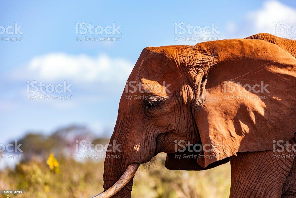 Tsavo Doğu Afrika kırmızı filler stok fotoğrafı