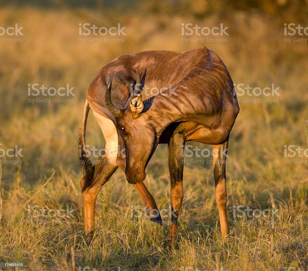 Tsessebe Antelope royalty-free stock photo