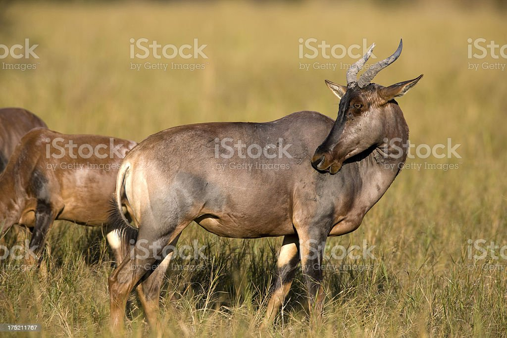 Tsessebe Antelope royalty-free stock photo