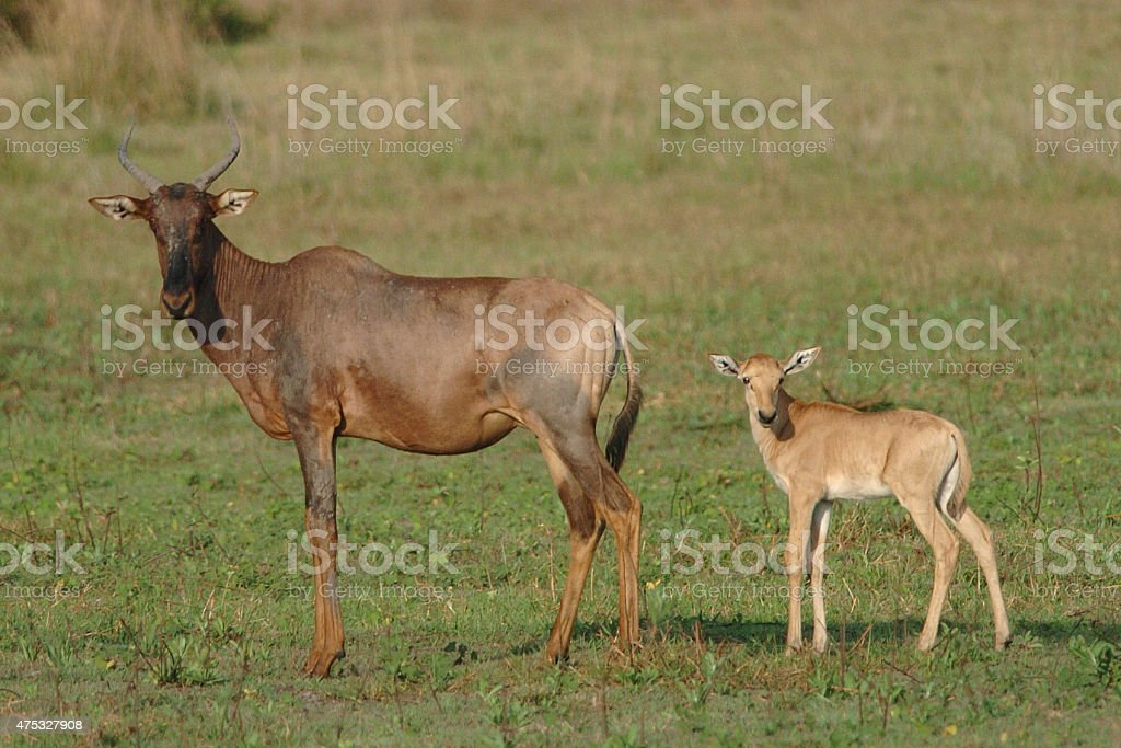 Tsessebe cow with calf stock photo