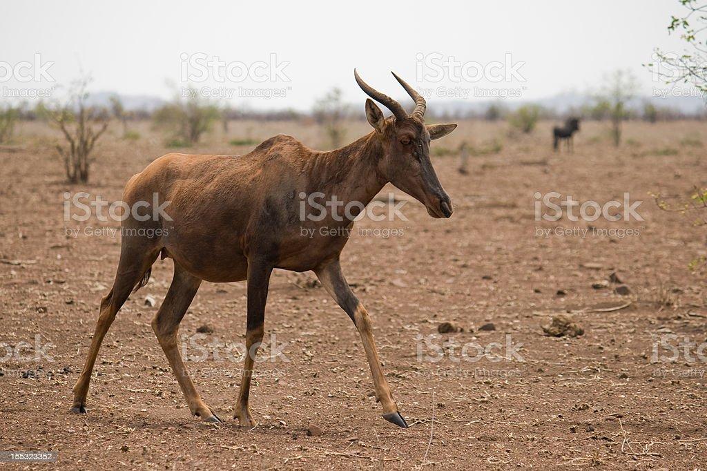 Tsessebe stock photo