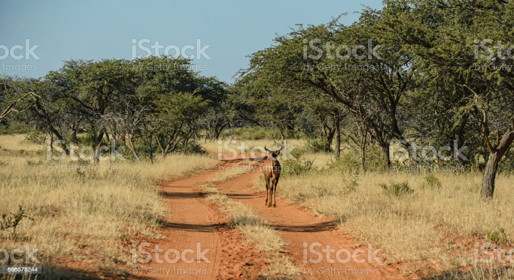 Tsessebe Walking Down Road royalty-free stock photo