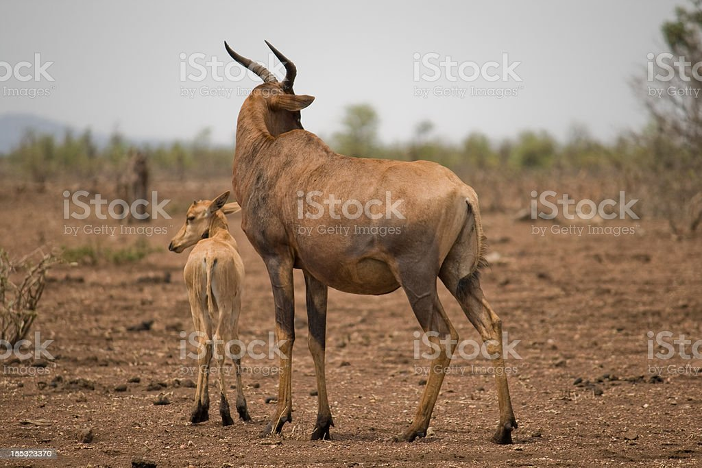 Tsessebe with young stock photo