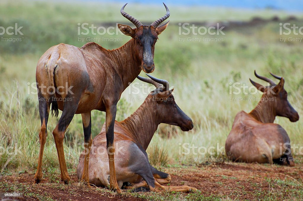 Tsessebe, World's Fastest Antelope royalty-free stock photo