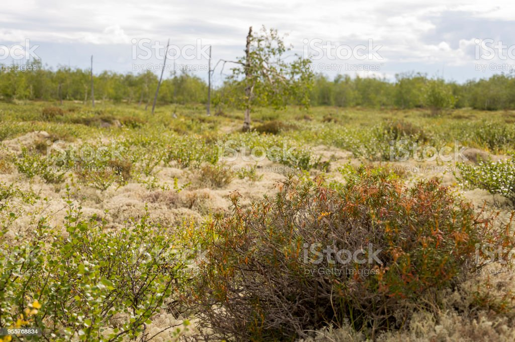 Tsetrariya moss in the forest. Wood background. North flora stock photo
