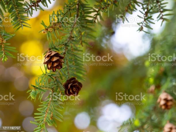 Photo of Tsuga canadensis - eastern hemlock, canadian hemlock tree with cones background