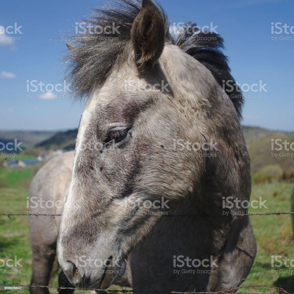 tête de cheval gris de profil stock photo
