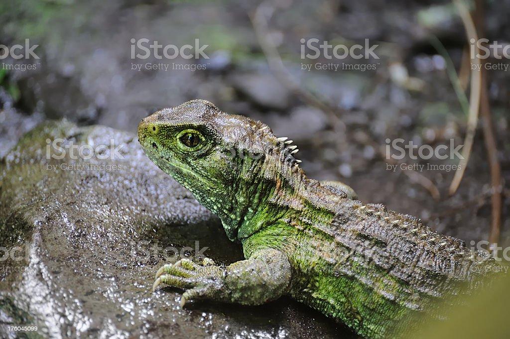 Tuatara - Lizenzfrei Bedrohte Tierart Stock-Foto