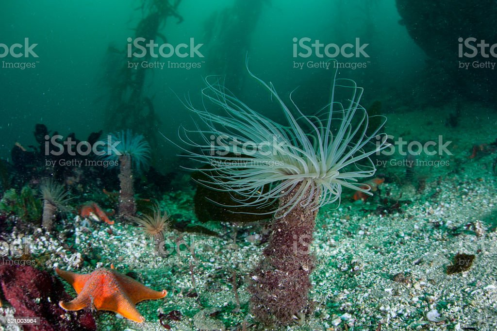 Tube Anemones and Kelp Forest stock photo