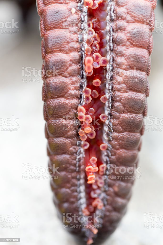 Tube feet are small active tubular projections on the oral face of an echinoderm, whether the arms of a starfish. stock photo