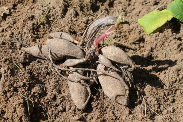 Tuber of Dahlia (Georgina) on garden soil before planting - Photo