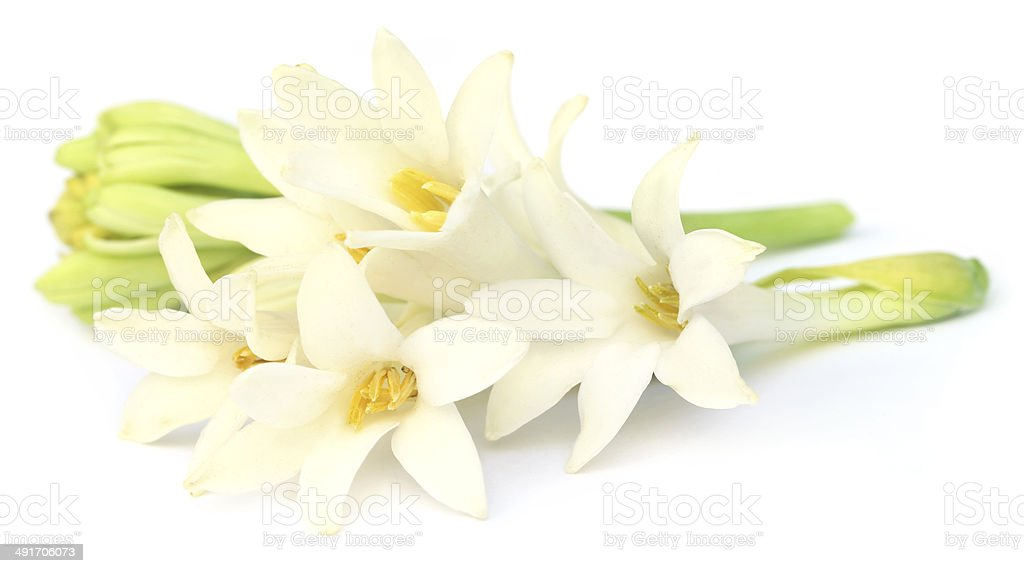 Tuberose or Rajnigandha of Southeast Asia stock photo