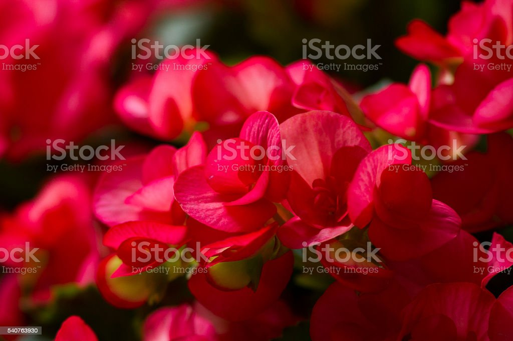Tuberous pink Begonia foto