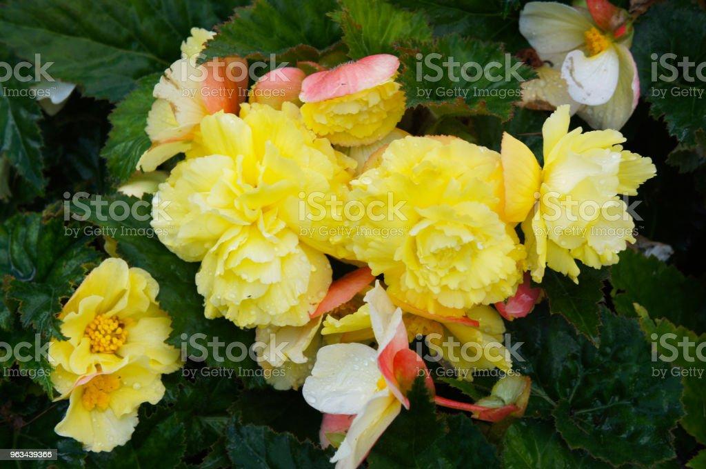Tuberös rotade begonia gula blommor med grön - Royaltyfri Begonia Bildbanksbilder