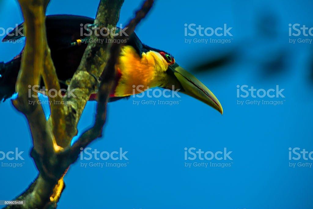 tucano-de-pássaros exóticos, bico grande, comuns no Brasil - foto de acervo