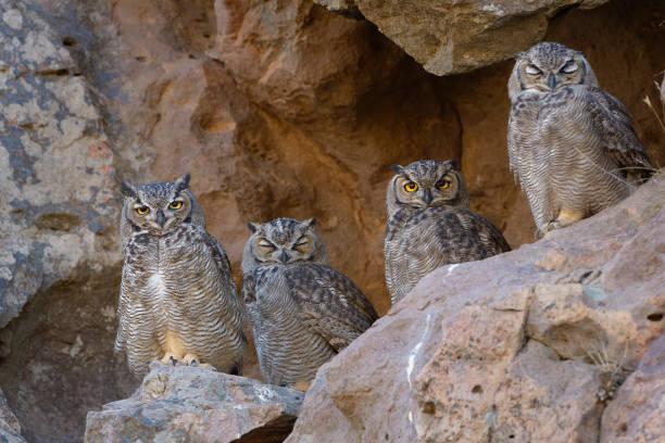 Tucuquere Owls stock photo