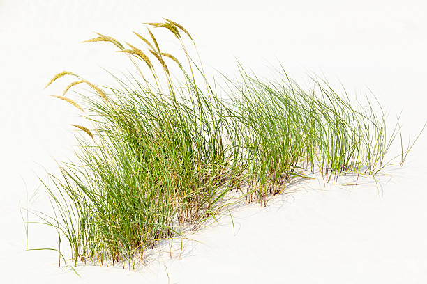 Tuft Of Grass In White Sand stock photo