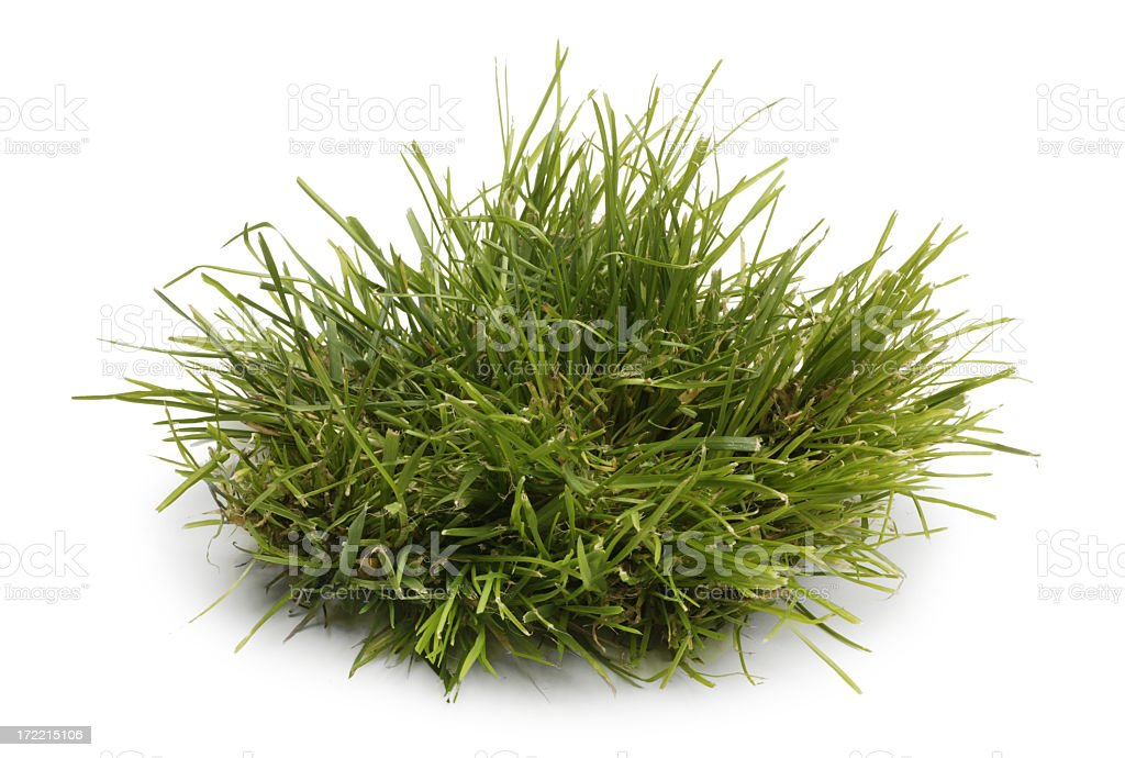 Tuft of Grass Isolated On A WHite Background stock photo