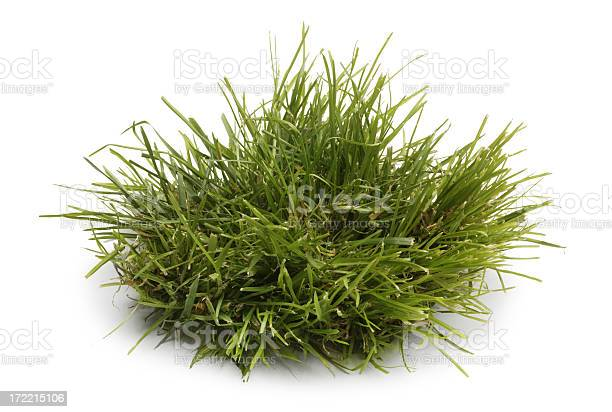 Photo of Tuft of Grass Isolated On A WHite Background