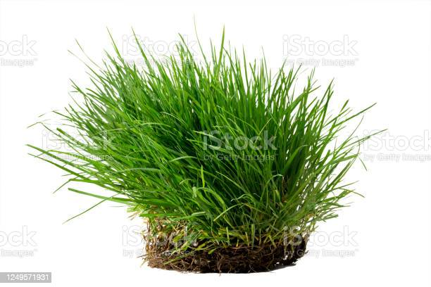 Photo of Tuft of lush grass with its roots isolated against white