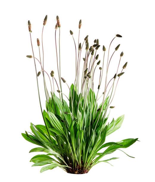 Tuft ribwort (Plantago lanceolata) on white background. Herb used in alternative medicine. stock photo