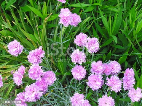 Tuft small pink carnations in green leaves, unpretentious garden plant, other names clove pink, gillyflower, botanical name Dianthus caryophyllus, detail of flower bed