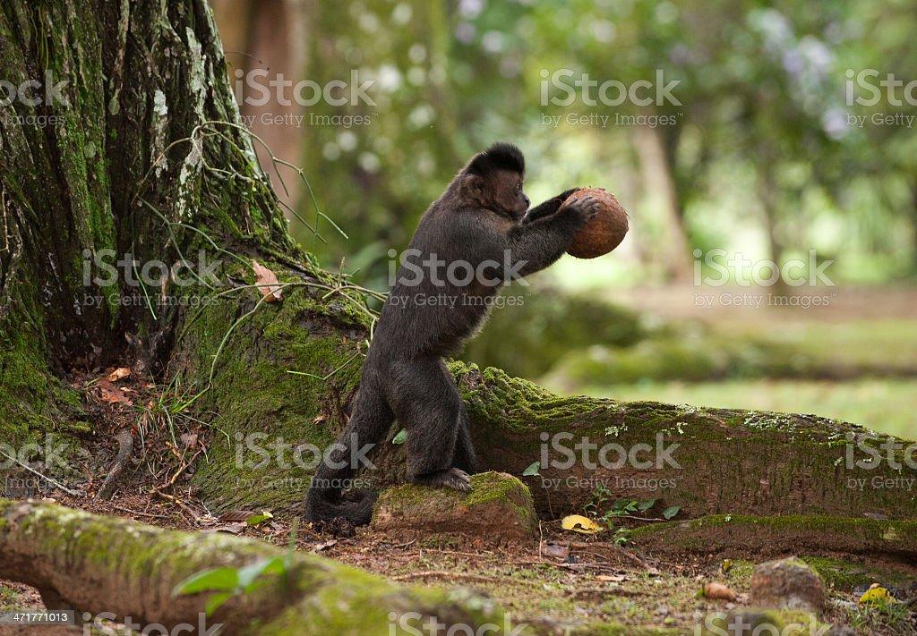 Tufted Capuchin breaking coconut stock photo