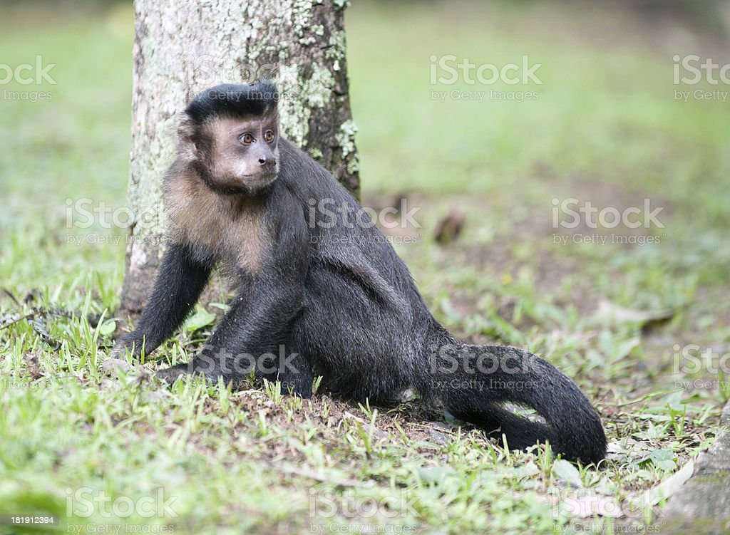 Tufted Capuchin by a tree stock photo