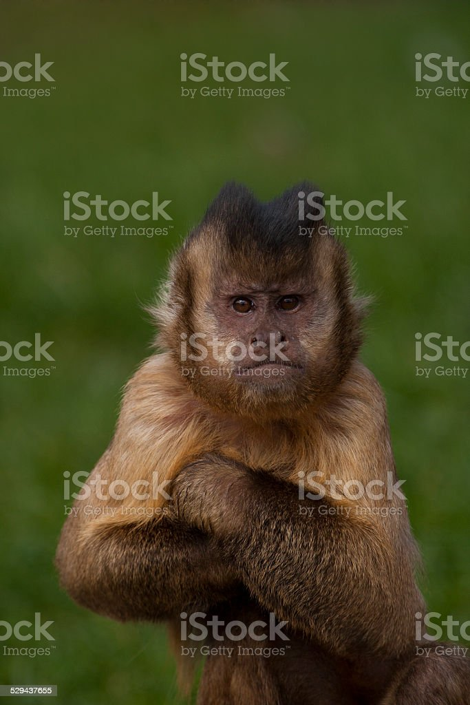 Tufted capuchin has arms together. stock photo