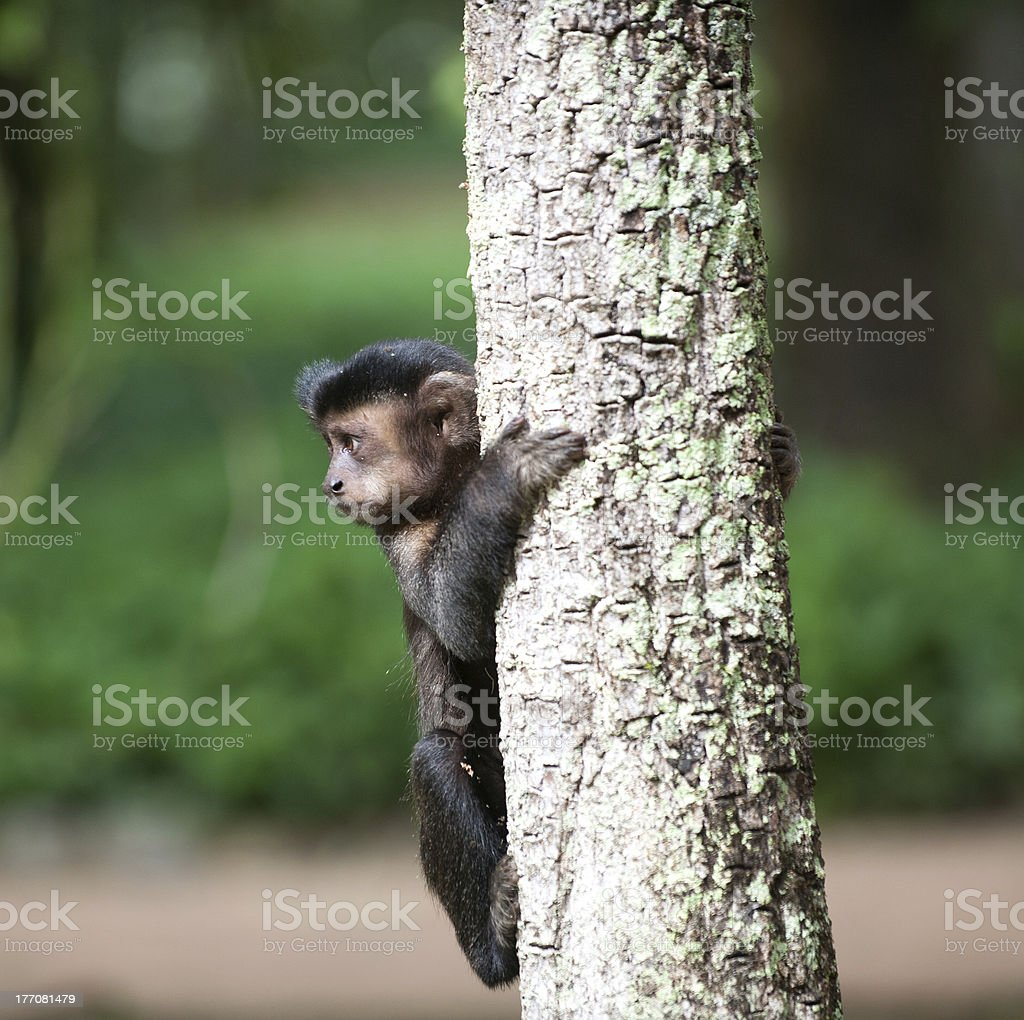 Tufted Capuchin in a tree stock photo