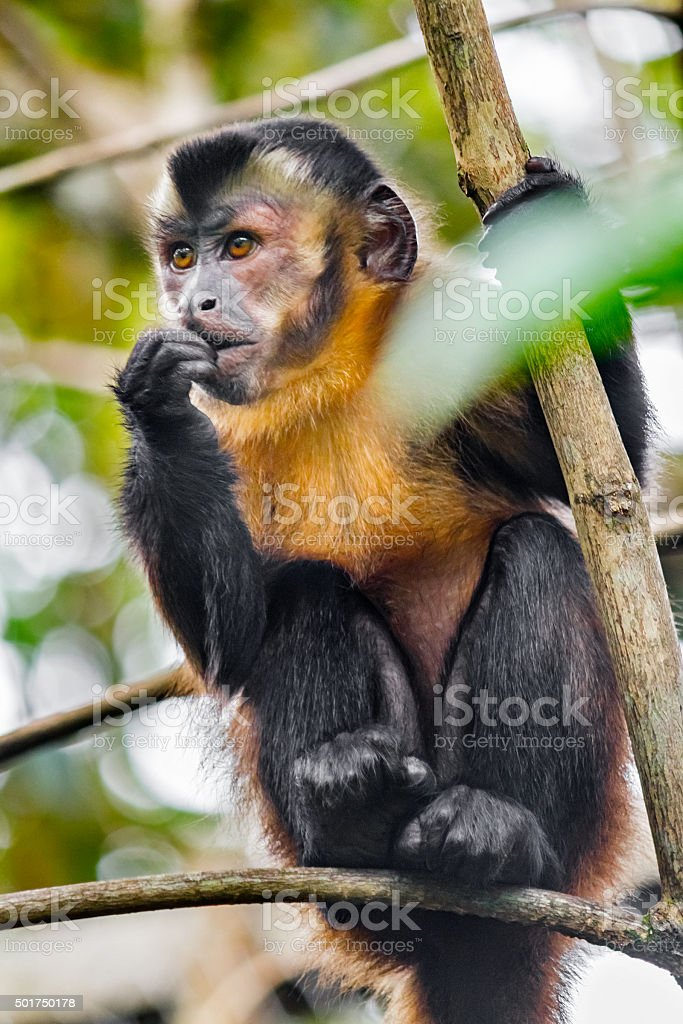 Tufted Capuchin Monkey aka Brown Capuchin Monkey in Ecuador stock photo
