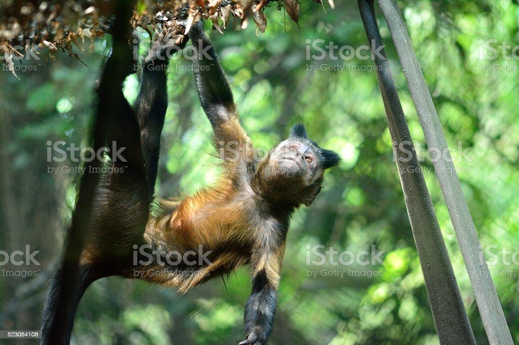 Tufted capuchin monkey climbing stock photo