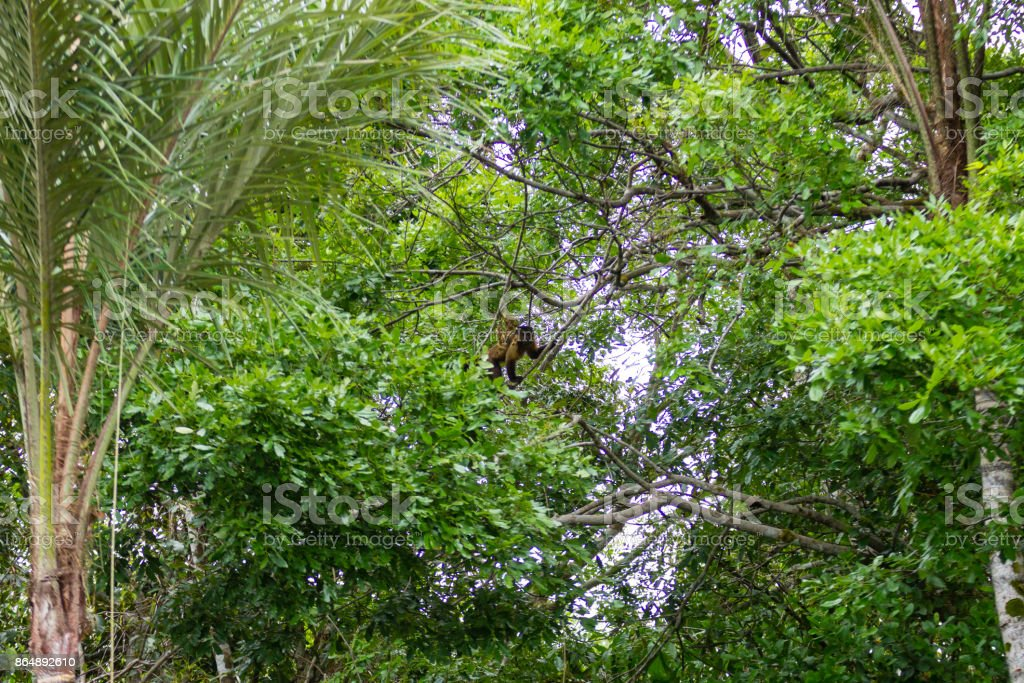 Tufted capuchin monkey on the nature in Pantanal, Brazil stock photo