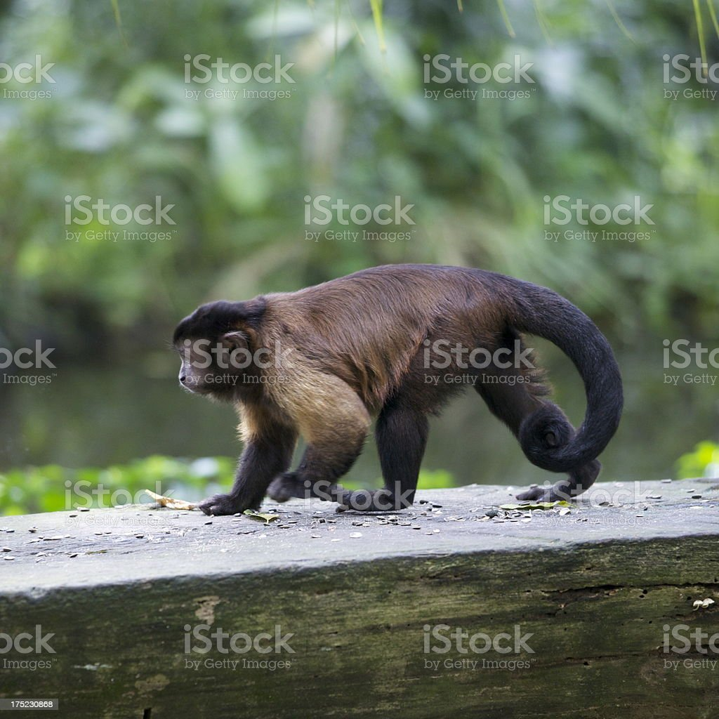 Tufted Capuchin royalty-free stock photo