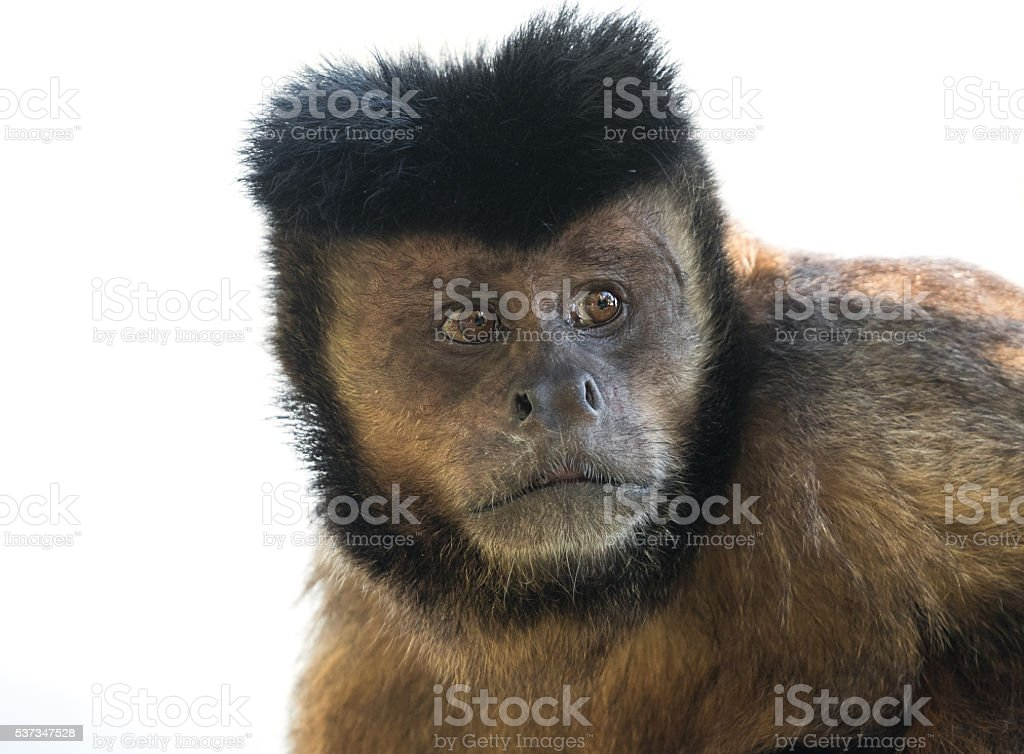 Tufted capuchin (Sapajus apella) stock photo