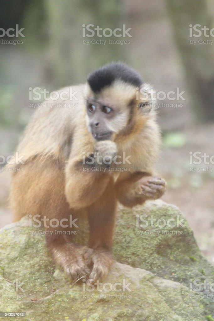 Tufted capuchin stock photo