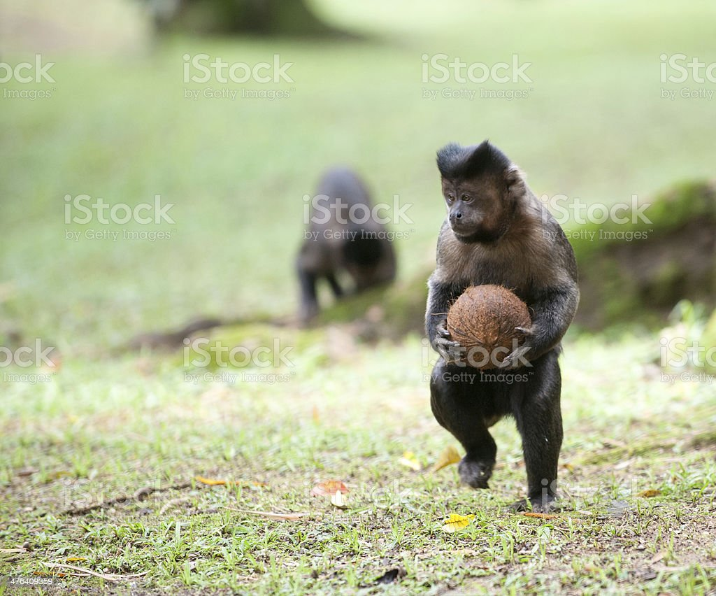 Tufted Capuchin with a coconut stock photo
