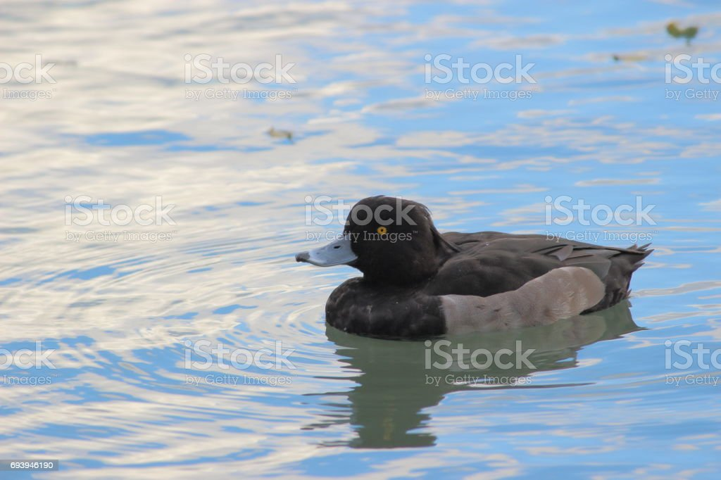 Tufted duck, Part 1 stock photo