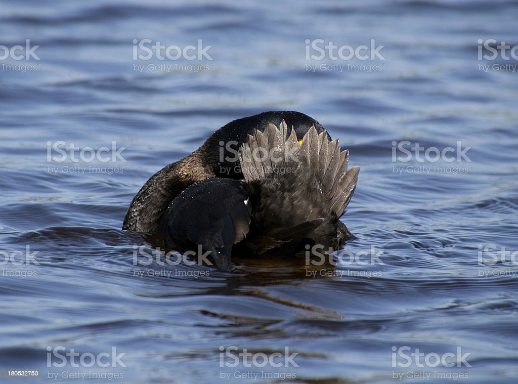 Tufted Duck royalty-free stock photo