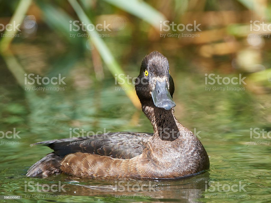 Tufted duck (Aythya fuligula) royalty-free stock photo