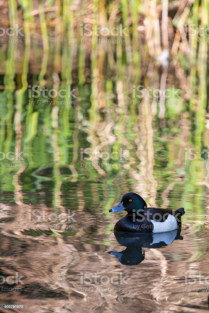 Tufted Duck stock photo