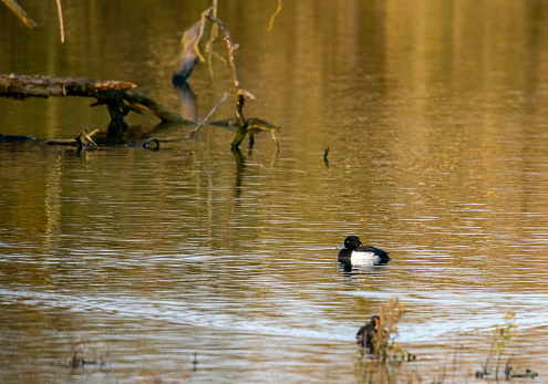 Paxton Pits, Cambridgeshire, England, UK with a Tufted duck swimming in a lake.