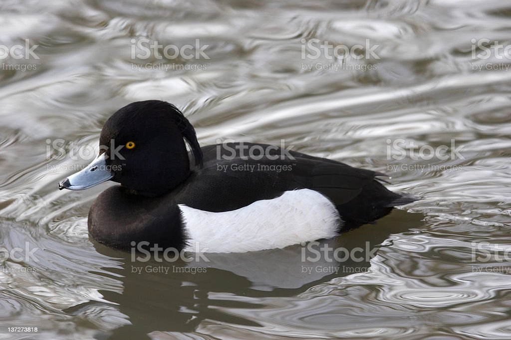 Tufted duck swimming royalty-free stock photo