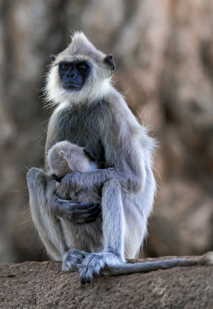 Tufted gray langur monkey with baby Tufted gray langur (Semnopithecus priam) monkey falling asleep while nursing baby, Sri Lanka tufted gray langur stock pictures, royalty-free photos & images