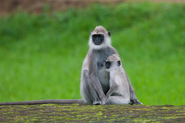 Tufted gray langur Tufted gray langur, Semnopithecus priam, Sri Lanka tufted gray langur stock pictures, royalty-free photos & images