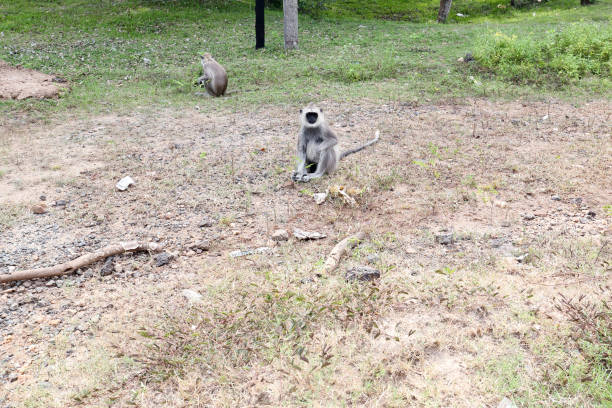 Tufted gray langurs Tufted gray langurs tufted gray langur stock pictures, royalty-free photos & images