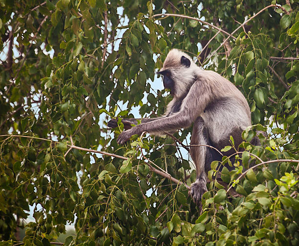 Tufted Grey Langur (Semnopithecus priam) in tree eating leaves A Tufted Grey Langur,  tufted gray langur stock pictures, royalty-free photos & images