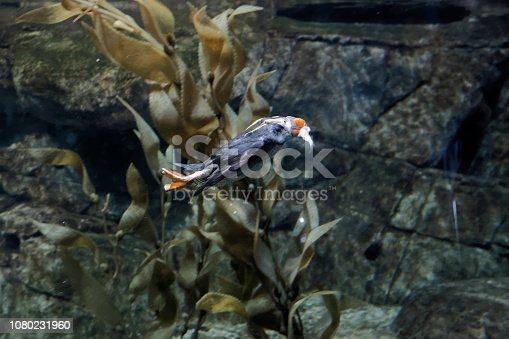 A tufted puffin (Fratercula cirrhata) catch a small fish inside the waters of an aquarium. Its bright colors have earned the tufted puffin the nickname,