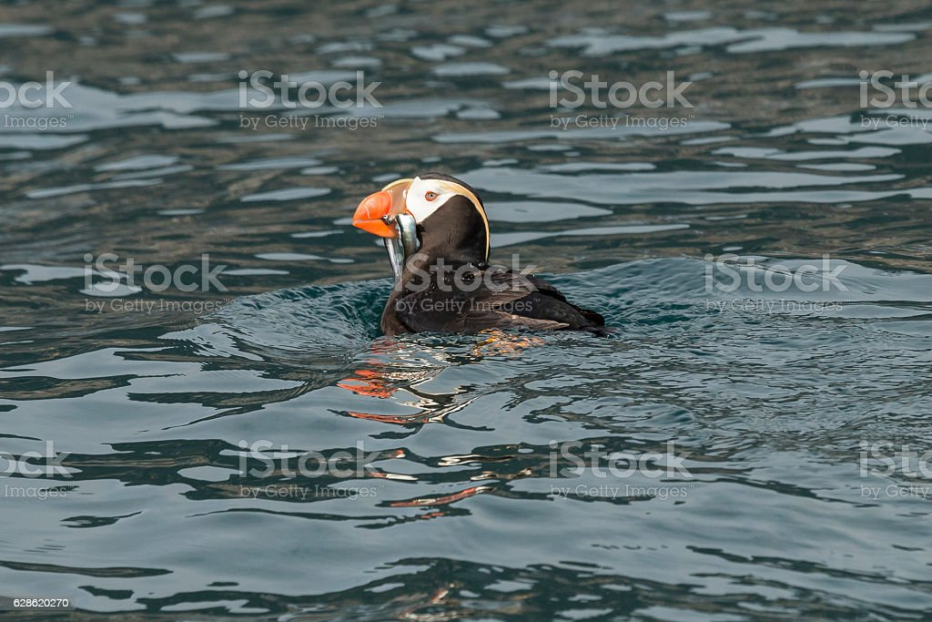 Tufted puffin with a mouth full of fish. stock photo