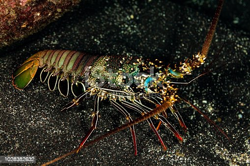 The light blue markings at the bases of the antennae are distinctive of the Tufted Spiny Lobster Panulirus penicillatus. This Lobster species is most abundant in Hawai'i at 6m or less.  The species is nocturnal, hiding in daytime in the rocks and coral reefs. In Hawai'i protected by law.   Max. length is 40cm, common length 30m.   USA, Hawai'i, West Coast Big Island at 7m depth  19°4'36.852